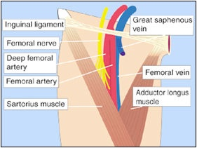 femoral nerve block – onehotbitch, Muscles